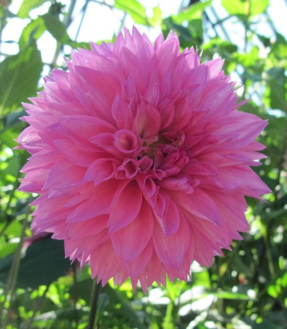 Gambar Bunga Dahlia Gambar Bunga