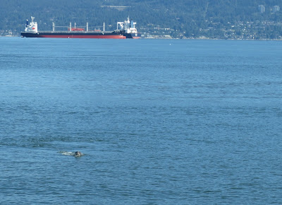 A seal swimming near Jericho beach Vancouver, BC