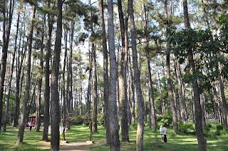 pohon pinus punti kayu