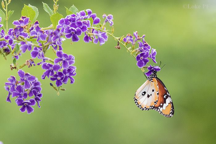 Butterflies Of Singapore Favourite Nectaring Plants 14
