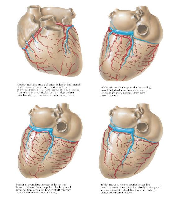 Coronary Arteries and Cardiac Veins: Variations Anatomy