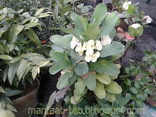 manfaat bunga Euphorbia milii