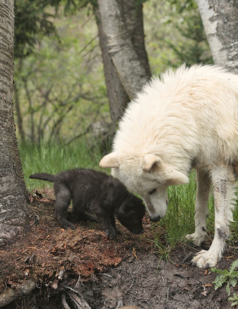 Black Wolf And White Wolf Pups