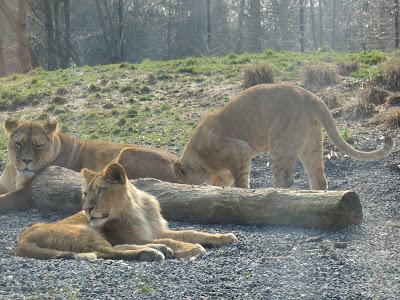 Lioness with cubs at Paris Zoo