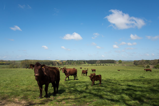 Lincolnshire Red cattle