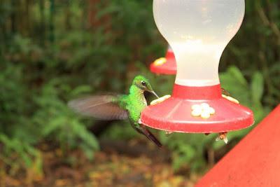 Colibri en Selvatura Park de Monteverde
