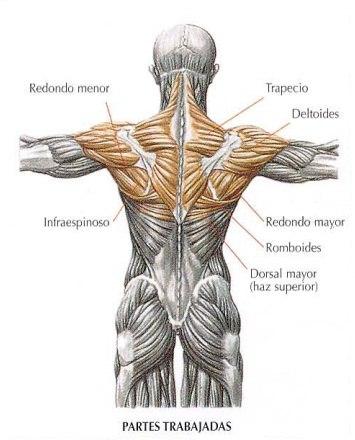 Musculos implicados en las elevaciones posteriores con tronco inclinado