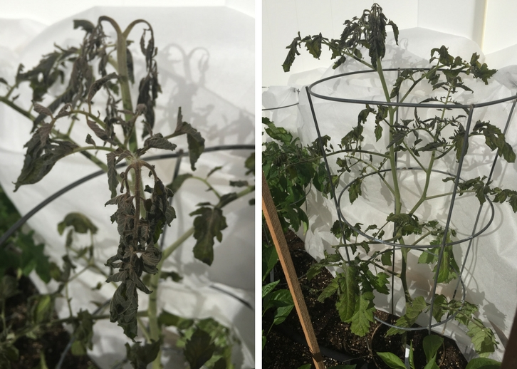 Tomato plant with frost damage // www.thejoyblog.net
