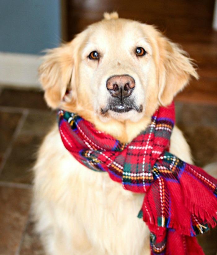 Golden Retriever in scarf - www.goldenboysandme.com