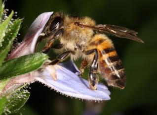 Honey Bee from God