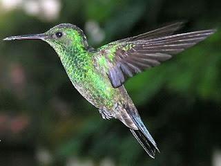la leyenda del colibri mapuche