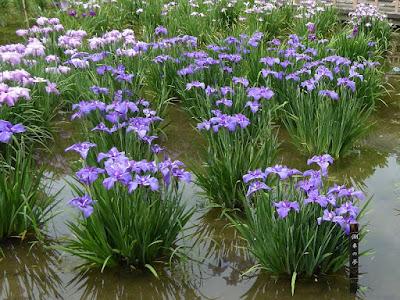 城北菖蒲園のハナショウブ 潮来の夢