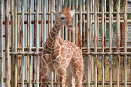 ゴロウマル命名 浜松市動物園アミメキリン