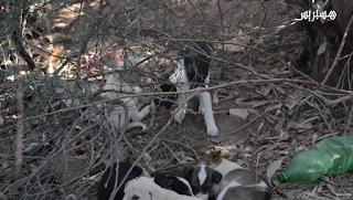 Taroudantpress - تارودانت بريس : ساكنة جماعة أكفاي نواحي مراكش تدق ناقوس خطر انتشار الكلاب الضالة بعد وفاة طفل بعضة كلب مسعور