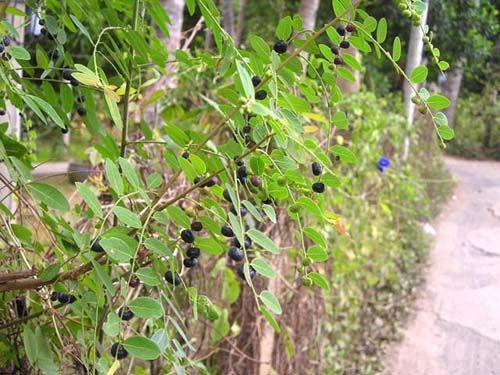 Cây Phèn Đen - Phyllanthus reticulatus - Nguyên liệu làm thuốc Đắp vết thương Rắn Rết cắn