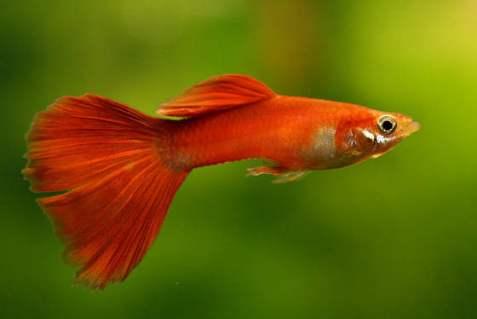 ikan termahal