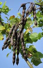 Manfaat Pohon Cangkring