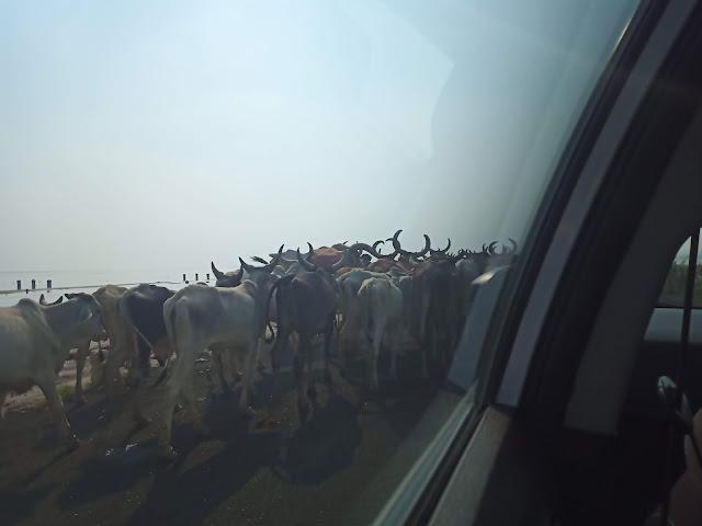 Herd of cows seen through window of a car