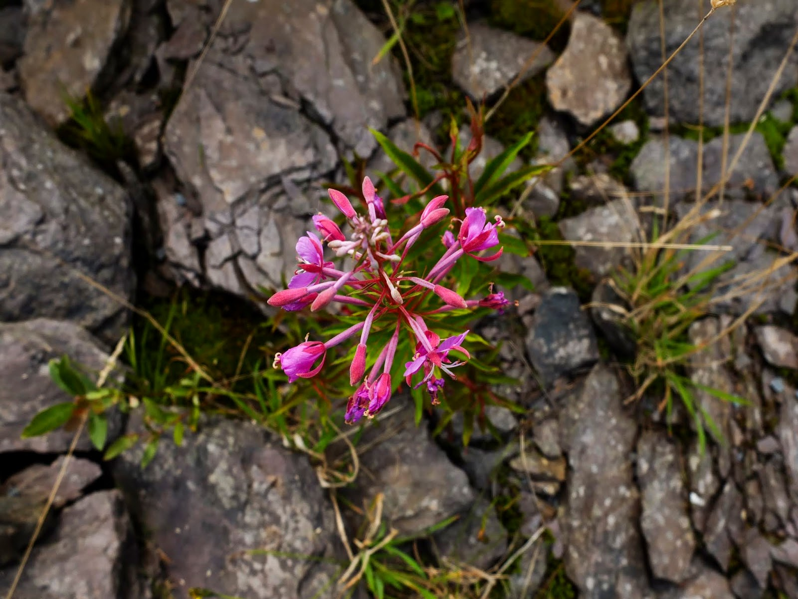 A pink fireweed plant groing in between rocks pictured from above.
