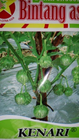 tahan layu, daging keras, buah panjang, tahan virus, hasil tinggi, terong, benih, bibit