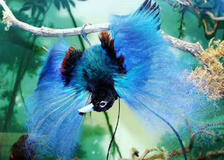 Blue Bird of Paradise, Papua Endemic Species