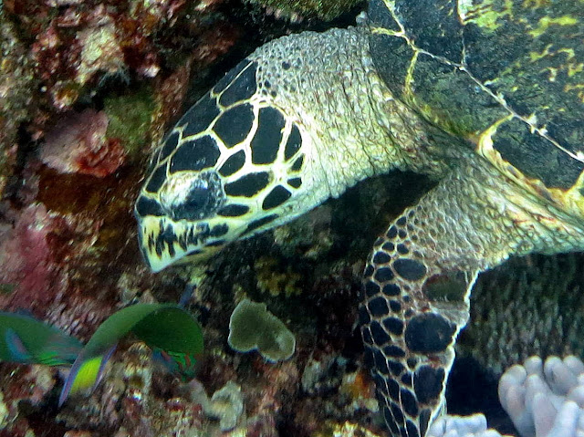 green turtle, cleaner wrasses, south china sea, Malaysia, scuba diving, tioman island, salang