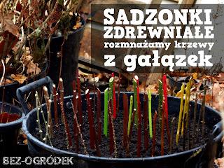 rozmnażanie krzewów ozdobnych z sadzonek