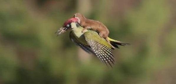 Burung pelatuk dengan musang tertangkap kamera Martin