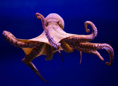 Animals that start with O - Octopus