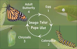gambar metamorfosis kupu kupu untuk anak tk