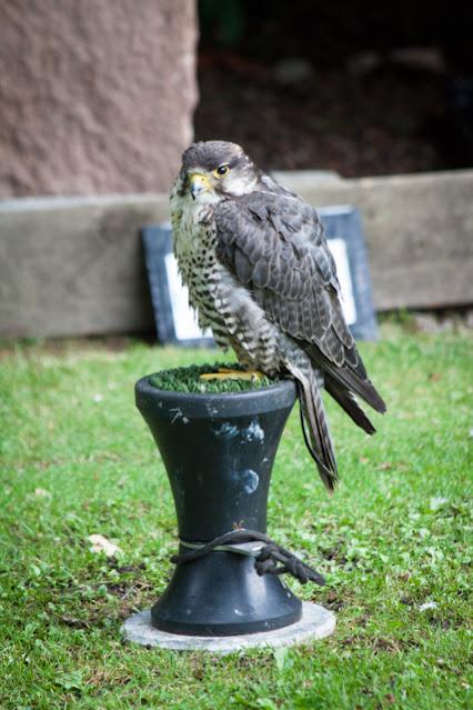 Golspie-Dunrobin castel-Spettacolo di falconeria