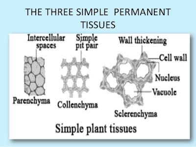 Jaringan Penguat tumbuhan