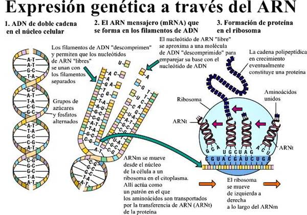 genética molecular expresión genética ARN