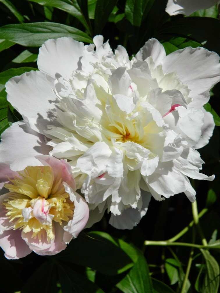 Festiva Maxima  Paeonia lactiflora herbaceous peony Toronto Botanical Garden by garden muses-not another Toronto gardening blog