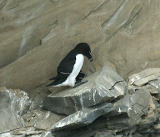 Petit pingouin - Pingouin torda - Alca torda