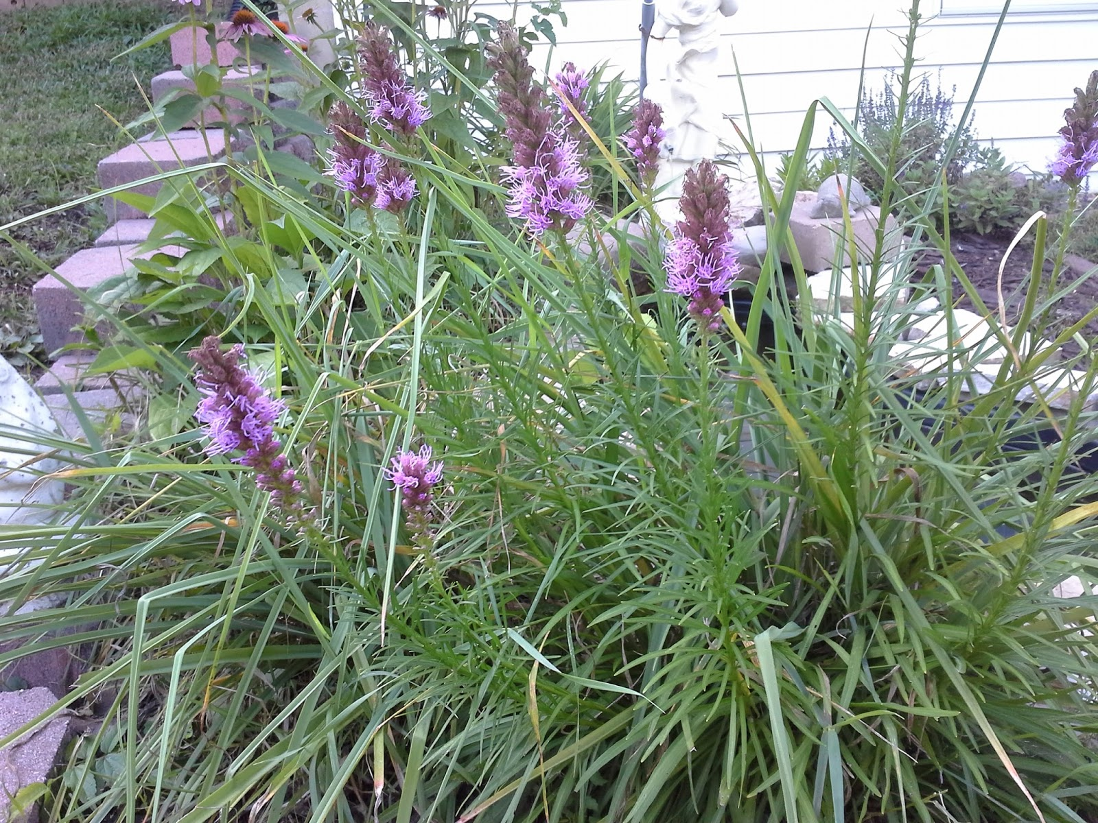 Linda Lu's Comments: Liatris Flowering Perennial ...