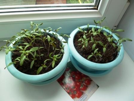 всходы помидоров гибрид2