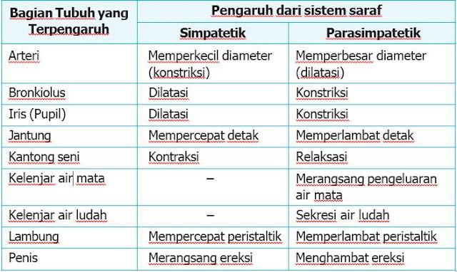 perbedaan sistem syaraf parasimpatetik dan syaraf parasimpatetik