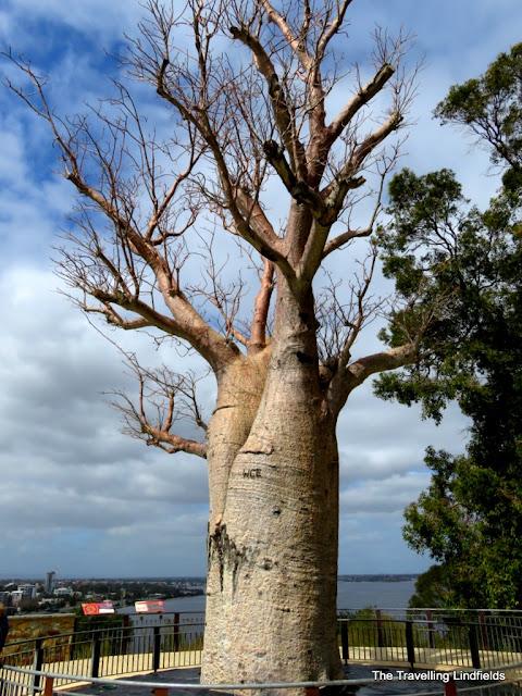 Boab tree.