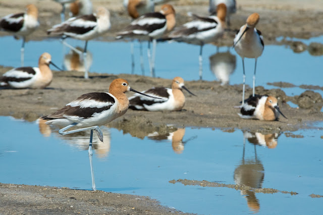 American Avocets, Rollover Pass