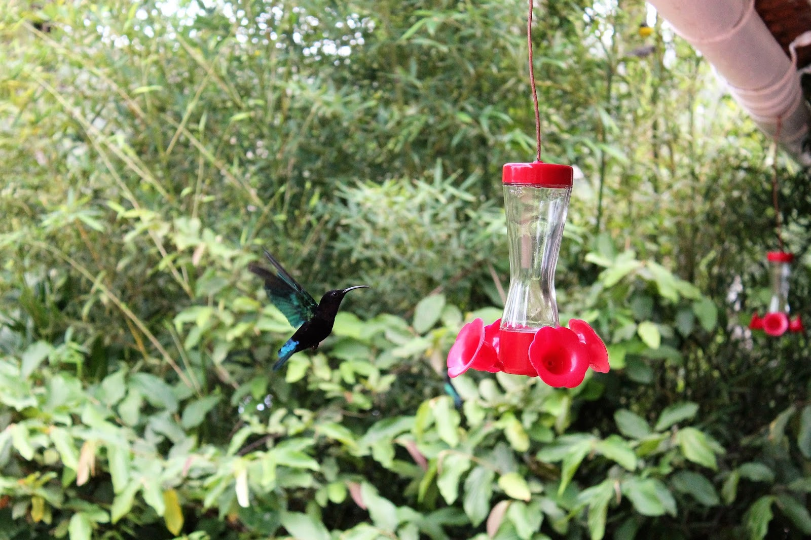 jardin de balata martinique colibri