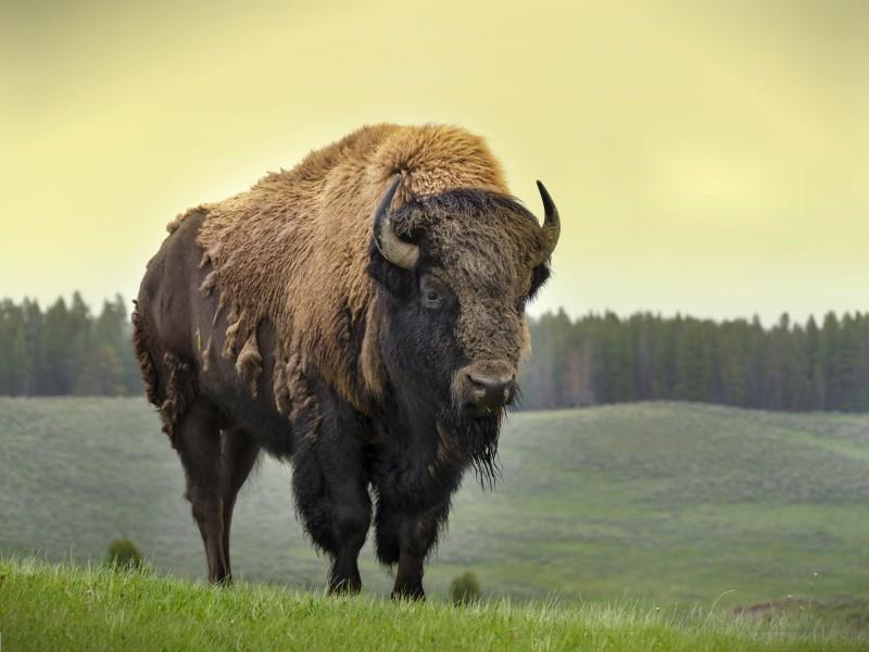 Horizontes De Grandeza La Fauna De La Conquista Del Oeste