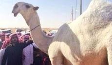 Unta Paling Cantik di Arab Saudi Seharga Rp108 M Dimumifikasi
