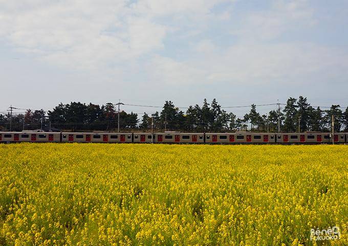 菜の花の花畑、福吉、糸島、福岡
