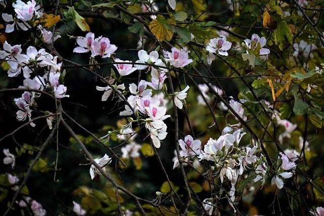 Ban flower- the hidden charm of northwest region 4