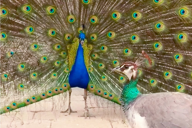 Penelitian Biomechanics of the Peafowl's Crest Reveals Frequencies Tuned to Social Displays