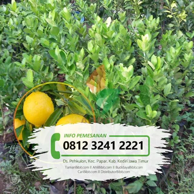 Jual Bibit Buah Jeruk Lemon Jumbo