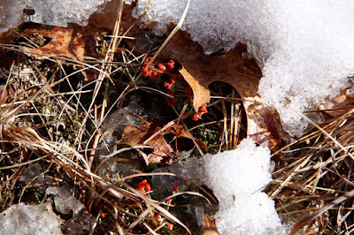 British soldier lichen, end of February