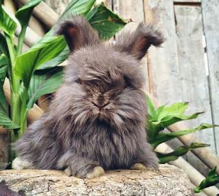 Jenis Kelinci Anggora dan Ciri Ciri Kelinci Anggora