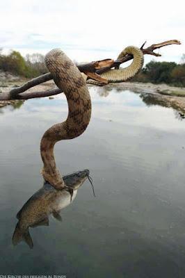 Schlange auf Ast fängt einen großen Fische - Angeln in der Natur